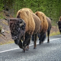 Bill Scott - Intermediate Level - Themed - Yellowstone Buffalo