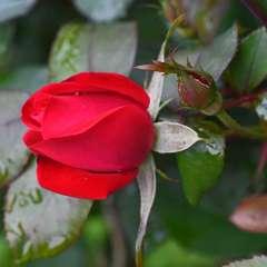 Phyllis-Tatum-Gallery-Wall-Raindrops-on-Roses