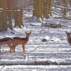 Essex Club - 7 Snow Deer