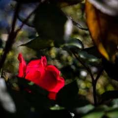 John-Mott-Around-the-Yard-1-Hidden-Rose