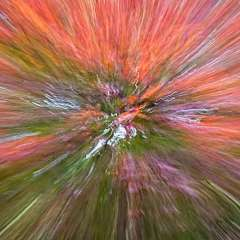 Movement-Jspanese-Maple_R731885