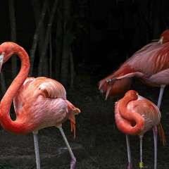 Nashville-Zoo-3-Flamingos_R732063