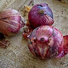 12th-St-South-Red-Onions_R732964