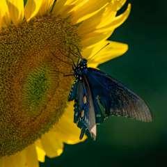 Joy-of-the-butterfly