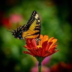 Yellow-Butterfly-of-Hope