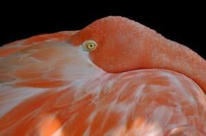 Phyllis-Tatum.Flamingo.1